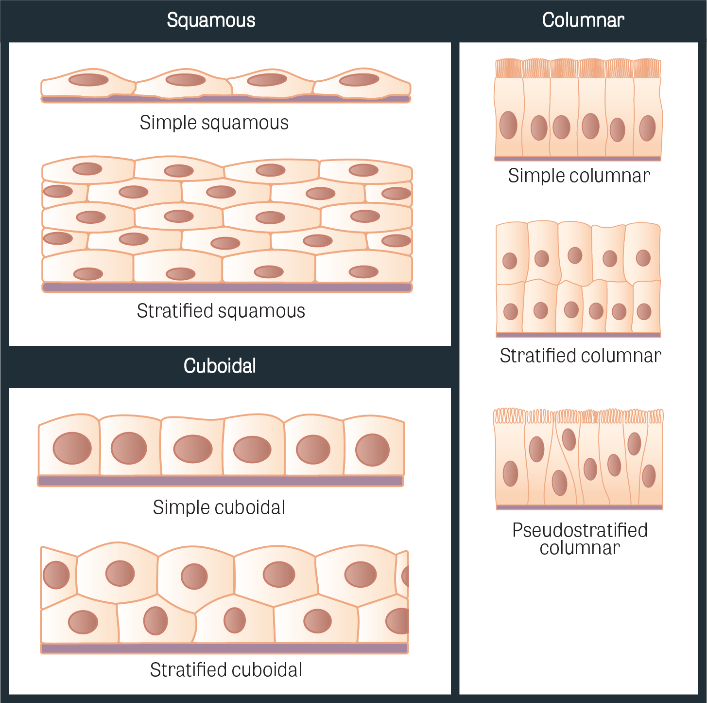 Muscle Clipart Epithelial Tissue Muscle Epithelial Tissue