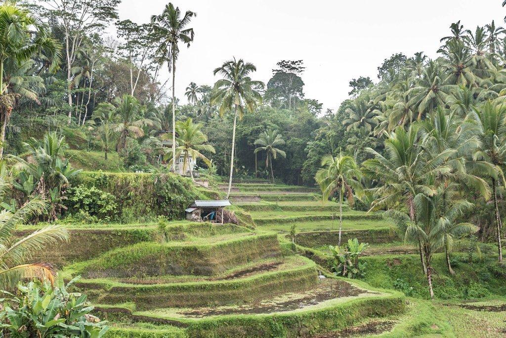 Día nublado en las terrazas de arroz en Tegallalang, Bali con palmeras de fondo