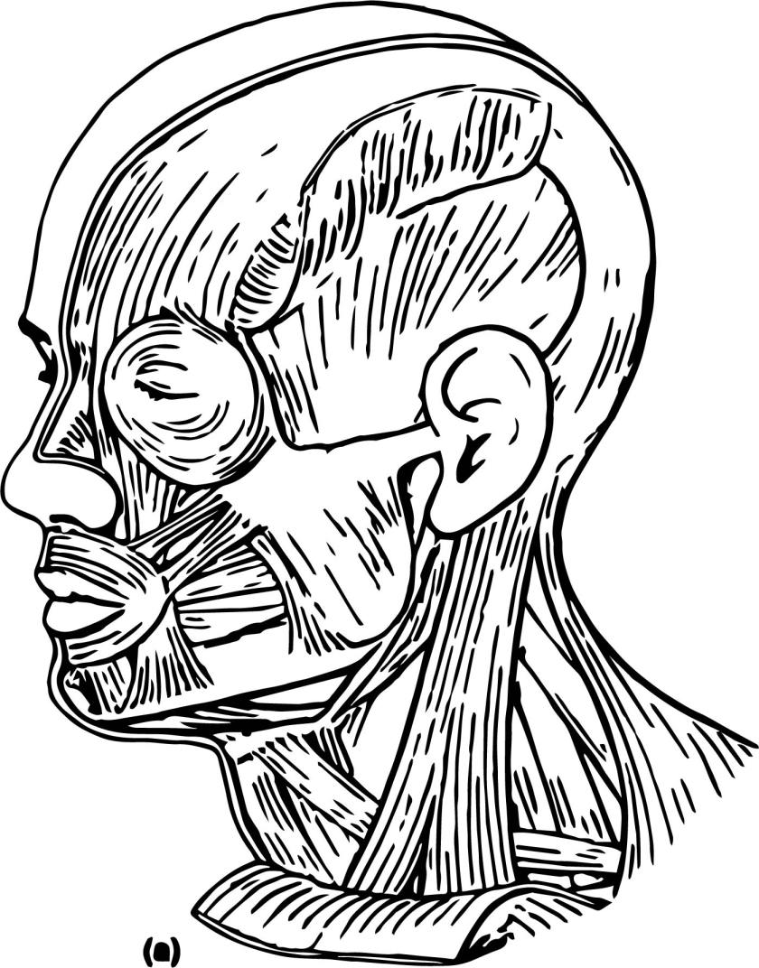 muscles head neck picture sketch drawing coloring page