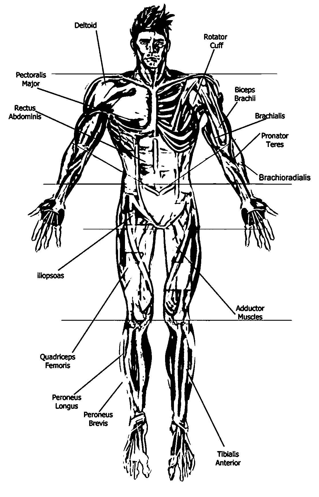 Anatomy And Physiology Anterior Diagram Picture Sketch