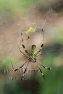 Nature Photography in Manuel Antonio Costa Rica - golden orb spider