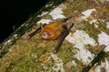 Bulldog Fishing Bat – Noctilio leporinus