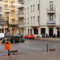Wildtiere in der Stadt: Der Fuchs