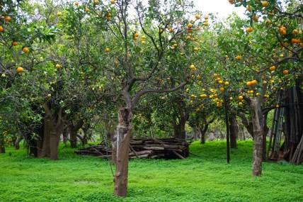 Orange trees of Sorrento