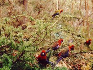 Crimson Rosellas feeding