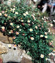 Seaside Daisy growing over rock