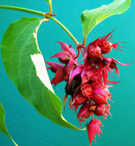 Himalayan Honeysuckle berries forming