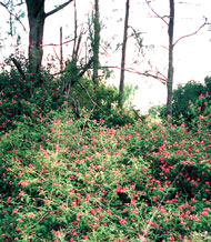 Lantana thickets in bushland