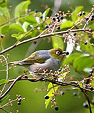 Silvereye with Small-leaf Privet fruit in its beak