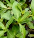 Photo of Alligator Weed