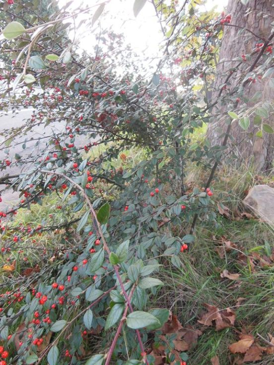 Cotoneaster habit