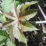 Castor oil plant fingered red-green leaf