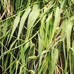 Giant reed foliage