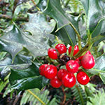 English holly with red berries