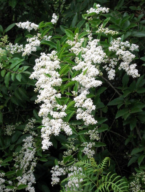 Small Leaf Privet branches covered with white blooms
