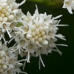 White mist flower