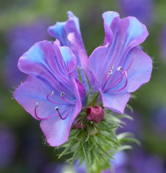 Paterson's curse flower