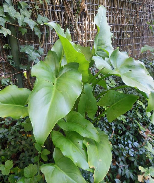 Arum lily foliage