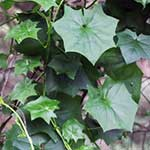 Cape ivy leaves