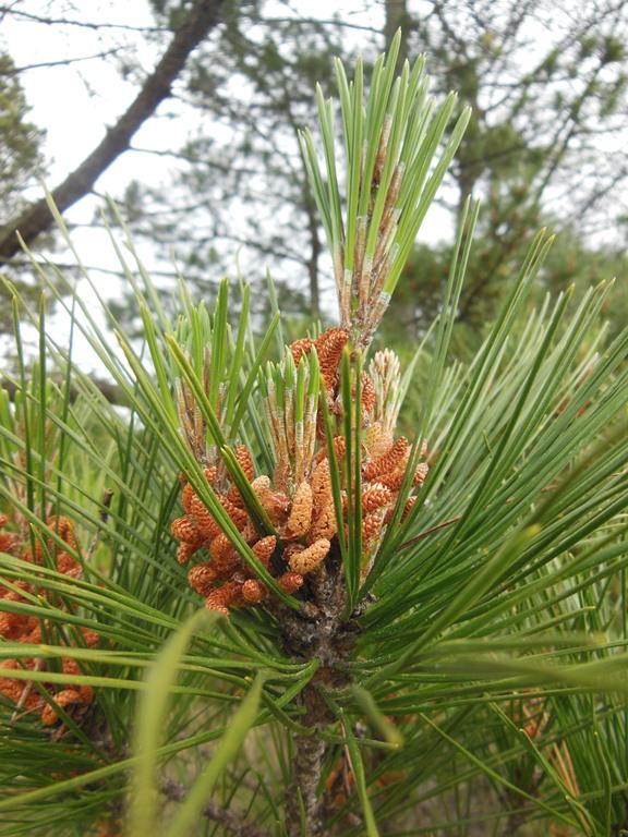 Radiata Pine flower