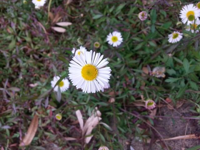 Seaside Daisy blossom