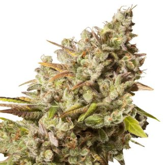 Royal Gorilla Female Seeds