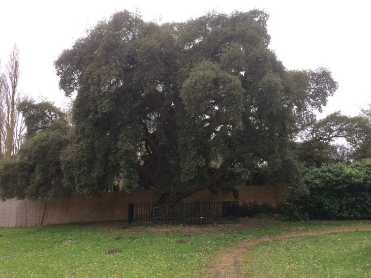 The Osterley Park Cork Oak