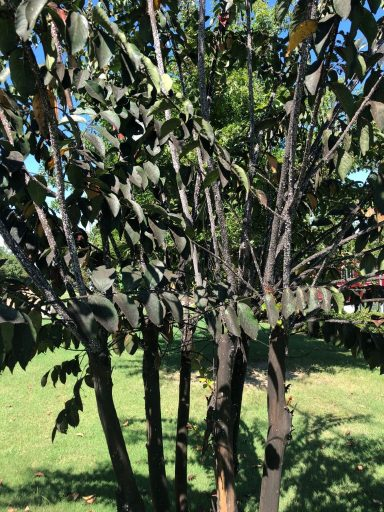 sooty mold on crape myrtle