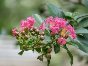 crape myrtle flower up-close