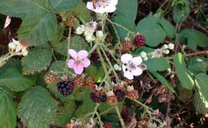 Fruiting blackberry