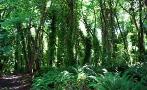 Tree ivy infestation