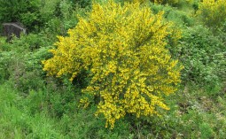Scotch broom plant