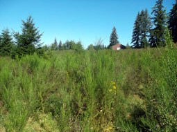 large vegetated Scotch Broom Infestation