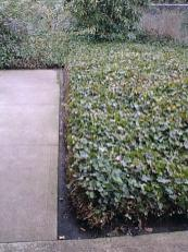 Ivy as ground cover