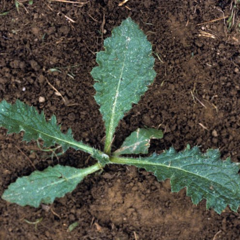 Bull thistle seedling