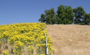Tansy Ragwort Management