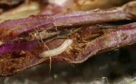 Tansy Ragwort Flea Beetle Larvae