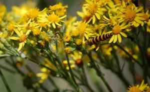 Tansy Ragwort Flowers and Cinnabar Moth Caterpillar