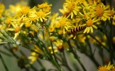 Tansy Ragwort Flowers and Cinnabar Moth Caterpillar