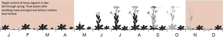 Tansy Ragwort Management Timeline