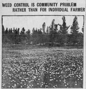 A weed control headline, from the Oregon City Courier. (Oregon City, OR.), July 18, 1918