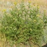 Common tansy plant