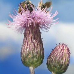 Canadian thistle flower head and bracts
