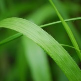 False brome leaf blade