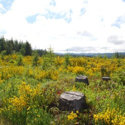 Scotch broom infestation following a timber harvest.
