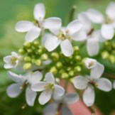 Garlic mustard flowers