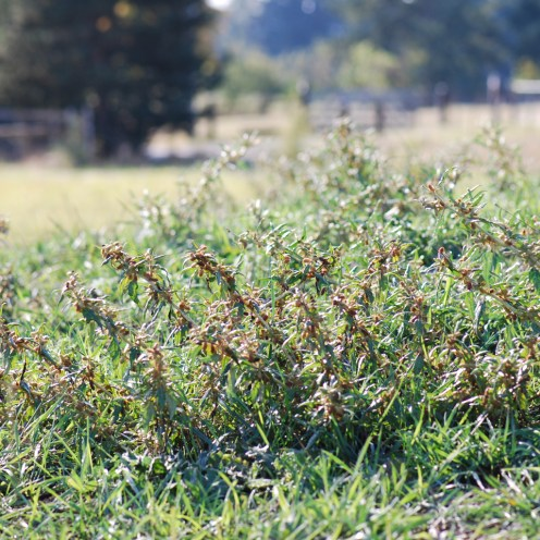 Spiny cocklebur infestation in pasture