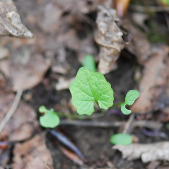 Garlic mustard seedling