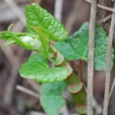 Knotweed emerging stem and leaves