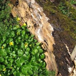 Ranunculus ficaria leaves and flowers